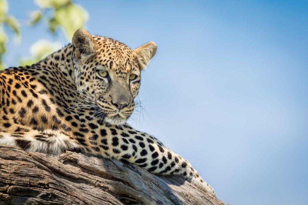 Leopard in Chobe National Park