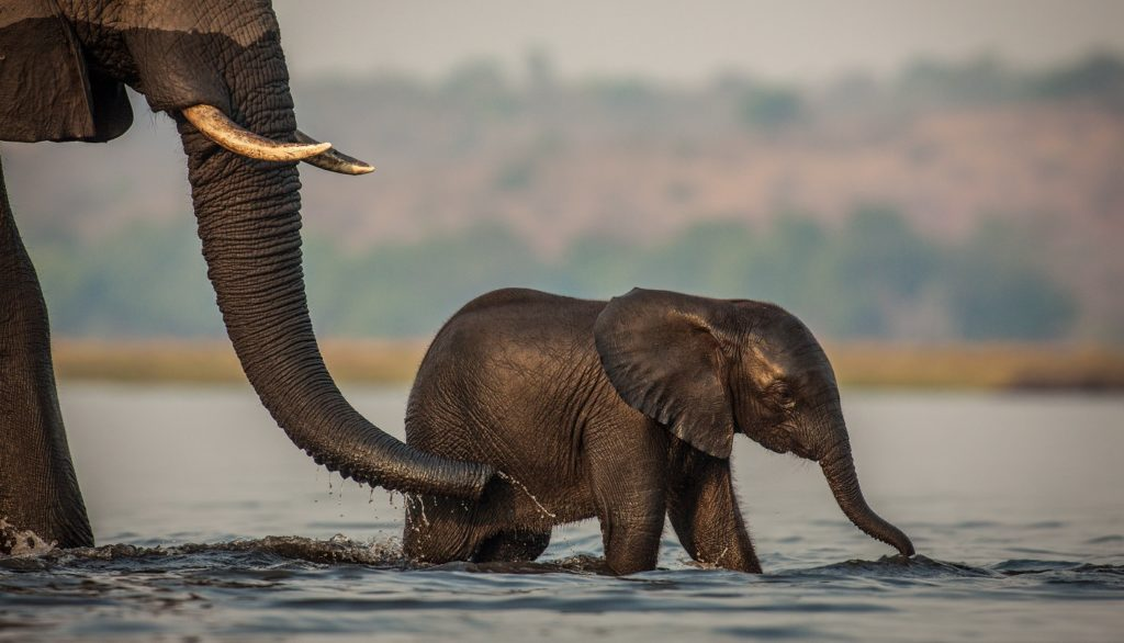 Baby elephant in the Chobe River