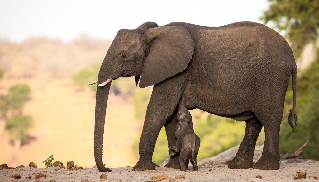 An elephant in Botswana - Chobe National Park