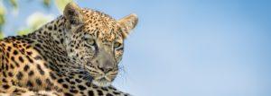 See leopards on the Pangolin Photo Safari: Botswana in Focus