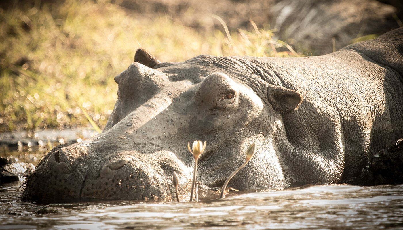 A hippo in Chobe National Park