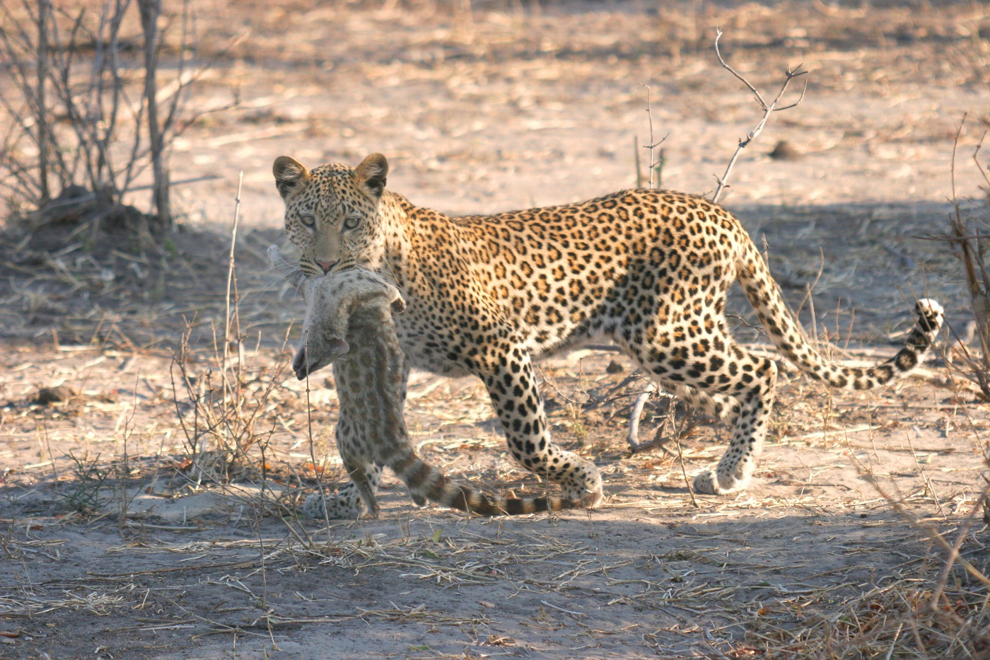 A rare leopard hunt and kill sighting!