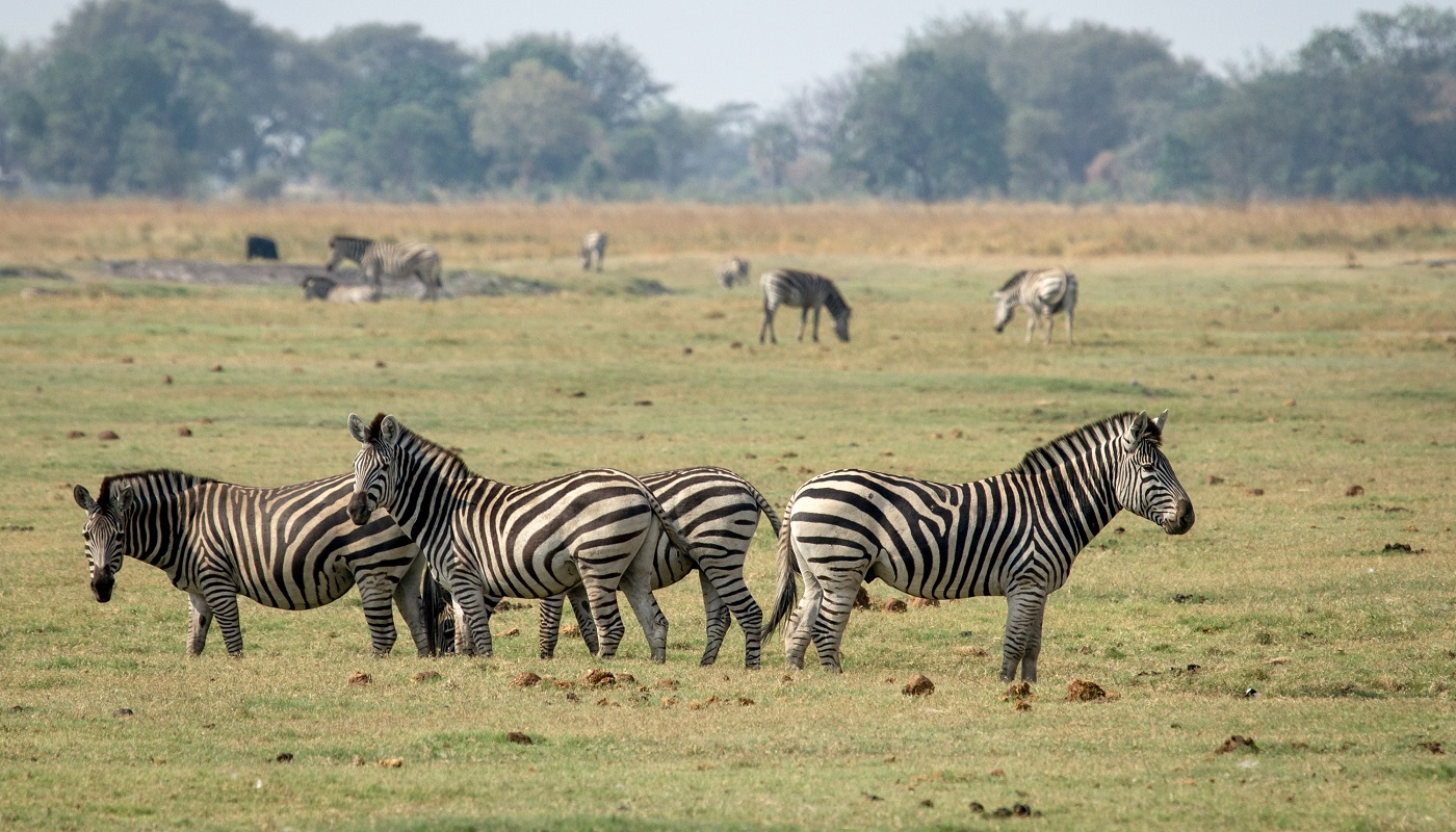 Zebras in Chobe National Park, Botswana