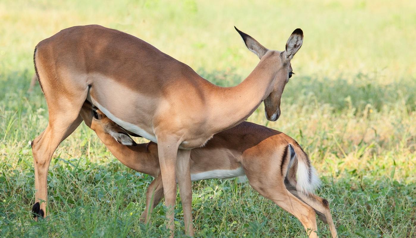 Enjoy amazing animal sightings near Chobe Bush Lodge and Chobe Safari Camp