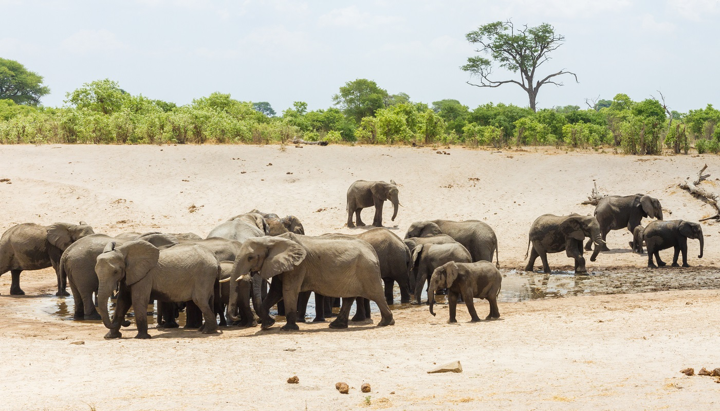 Elephants in the Savuti