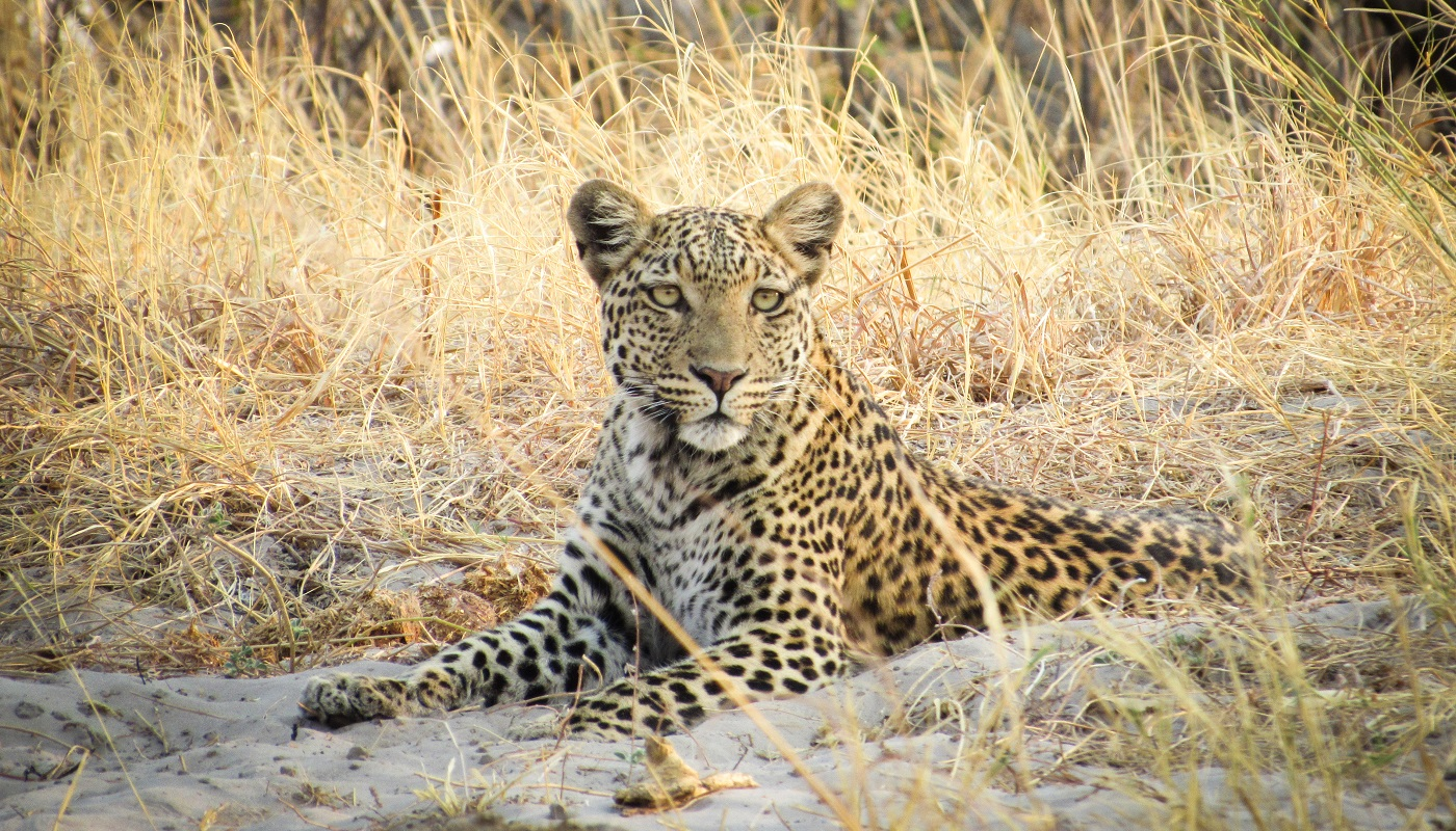 Leopards are an amazing wildlife sighting
