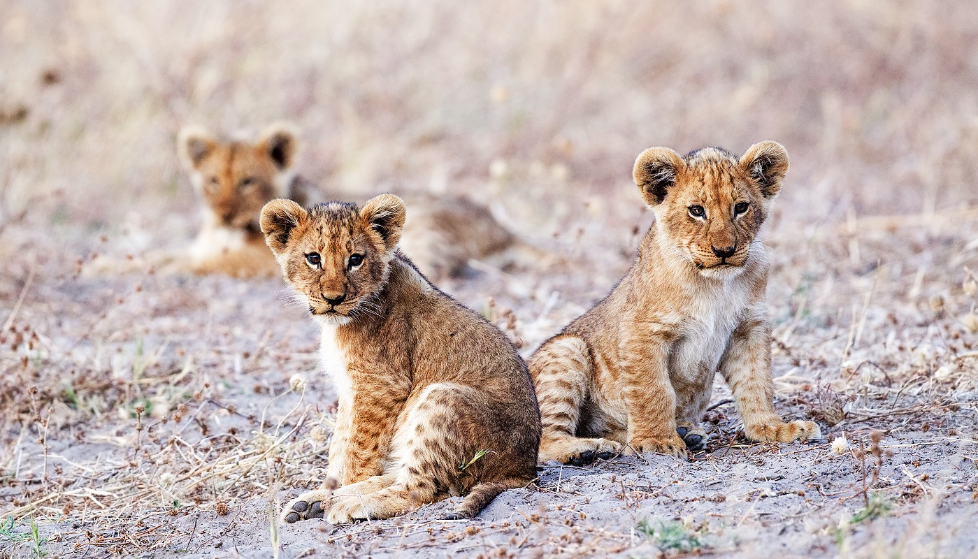 The local lion cubs of the Savuti region in Botswana