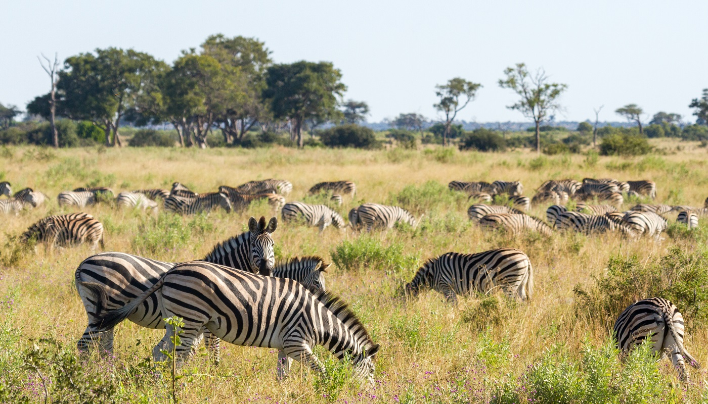 Zebras peacefully grazing