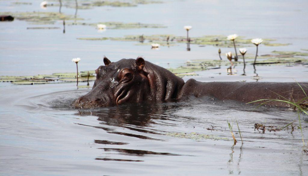 A hippo in Botswana