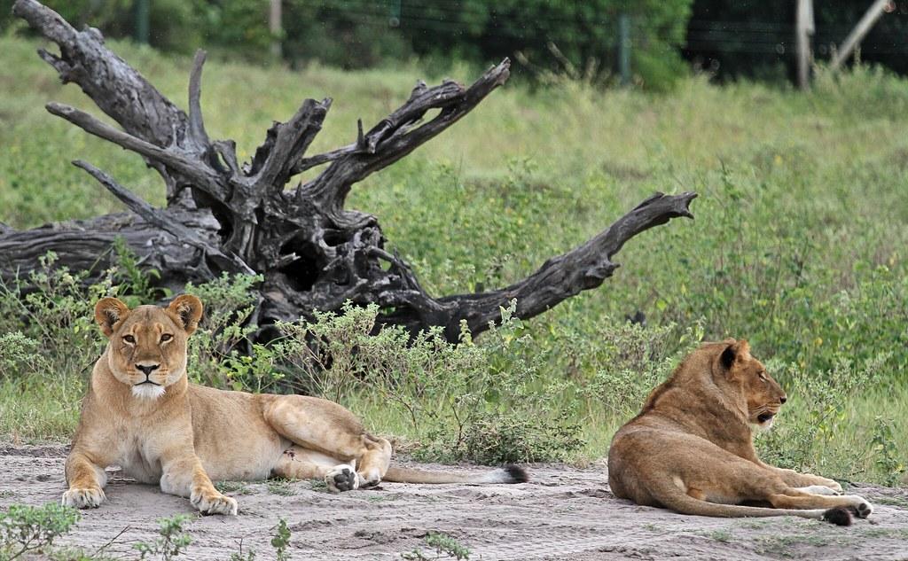 Lions in Chobe National Park, Botswana